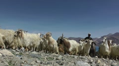 Herding pashmina goats in himalaya,Pangong,Ladakh,India Stock Footage