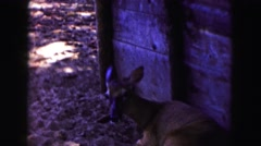 1961: a gazelle at a zoo is resting in the shade and is curious about the camera Stock Footage
