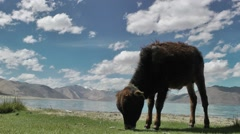 Grazing cow in himalaya mountains,Pangong,Ladakh,India Stock Footage