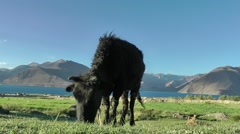Cow grazing in himalaya mountains,Pangong,Ladakh,India Stock Footage