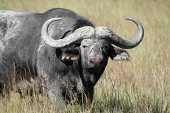 Cape Buffalo (Syncerus caffer), Eastern Cape, Stock Photos