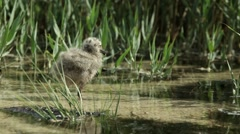Nestling gulls in the reeds Stock Footage