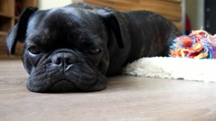 Sleepy brindle french bulldog Stock Footage