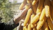 Grandma in vegetable garden. Mature woman holds corns Stock Footage