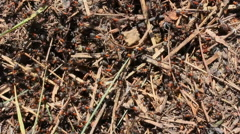 Forest Ants Stock Footage