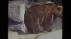 1972: how can we help this bear find its fish again  Stock Footage