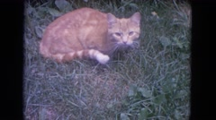 1972: cute cat yellow at the grass is so calm  Stock Footage