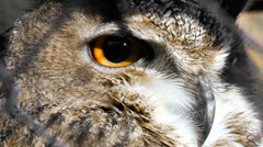 Horned Owl gaze looks around. Feathered race Stock Footage