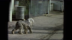 1972: stray dog wanders alleyways in search of food, comfort, and friends Stock Footage