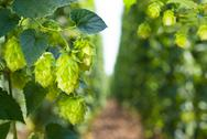Hop cones - raw material for beer production Stock Photos