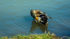 The mallard or wild duck cleans feathers, morning washing Stock Footage