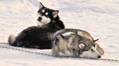 Dog breed Siberian husky, huskies, malamutes Stock Footage