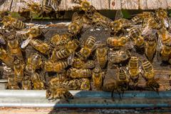 Plenty of bees at the entrance of beehive in apiary. Stock Photos