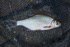 Several ablet or bleak fish, roach and bream fish on the natural background. Stock Photos