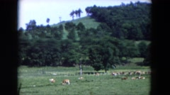 1954: dozens of cows grazing in the grass alongside a lush, green hillside Stock Footage
