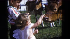 1954: a little boy and his toddler sister are petting cuddly cute baby cows  Stock Footage