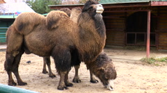 Two two-humped camels chewing hay. Mammals Stock Footage