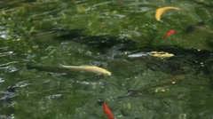 Multi Color Golden White Grey Fishes Eating Cracker Trout Fish Swimming Stock Footage