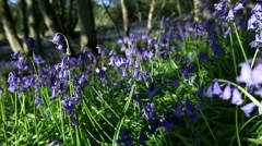Spring Bluebell Field in Woodlands Waving on the Morning Breeze Stock Footage