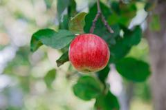 Red ripe apple on branch closeup of tree in garden Stock Photos