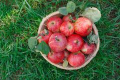 Basket with apples harvest on grass in garden, top view Kuvituskuvat