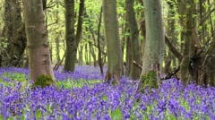 Bluebell Flowers Among Old Maple Tree Trunks with Sound of Singing Birds Stock Footage