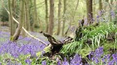 Wild Bluebell Flowers on Twisted Tree Trunk with Sound of Singing Birds Stock Footage