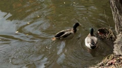 Duck swims and dives in the pond near the shore Stock Footage