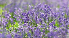 Spring Bluebell Flowers Meadow Stock Footage
