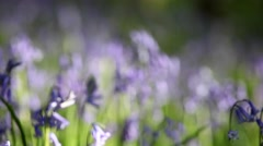 Wild Bluebell Flowers on Woodland Meadow Stock Footage