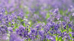 Spring Forest Meadow with Wild Bluebell Flowers  Waving in Breeze Stock Footage
