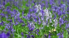 Wild Forest Meadow with Blooming Bluebell Flowers Stock Footage