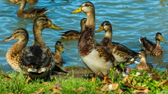 Flock of Mallard Ducks and Drakes walking along the shore, they eat bread. Stock Footage