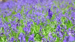 Wild Spring Meadow with Blooming Bluebell Flowers Waving In Breeze Stock Footage