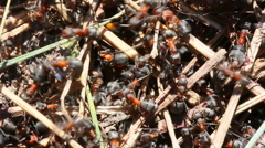 Large Forest Ants Stock Footage