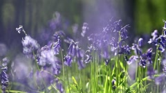 Delicate Bluebell Flowers Waving on the Breeze Stock Footage