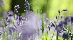 Spring Bluebell Flowers in Morning Light Stock Footage