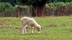 Little lamb grazing Stock Footage