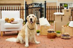 Cute pet sitting by new house with packed things on background Stock Photos