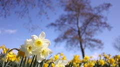 Spring Narcissus Meadow on Blurred Tree and Blue Sky Background Stock Footage