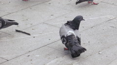Pigeons eat bread in park Stock Footage