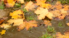 Yellow maple leaf lying in a puddle in autumn Stock Footage