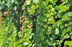 Greenery ivy foliage Stock Photos