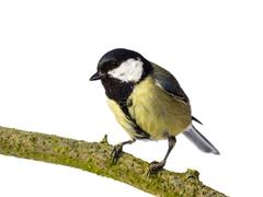 Great tit looking left Stock Photos