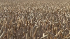 Golden Wheat Ears Moving gently on Breeze Stock Footage