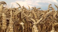 Golden Wheat Ears Waving on Gentle Breeze Stock Footage
