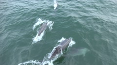 Bottlenose dolphin jump out of water before ship nose Stock Footage