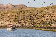 Magnificent frigatebirds (Fregata magnificens), San Gabriel Bay, Espiritu Santo Stock Photos