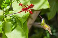 Adult male Xantus's hummingbird (Hylocharis xantusii), Todos Santos, Baja Stock Photos
