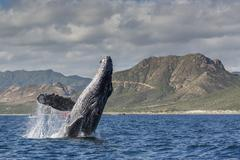 Adult humpback whale (Megaptera novaeangliae), breaching in the shallow waters Kuvituskuvat
